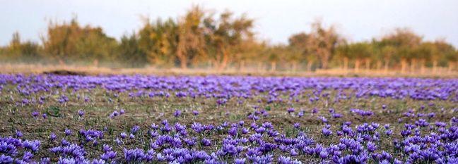 Saffron Farming in Northeast Iran Designated as GIAHS