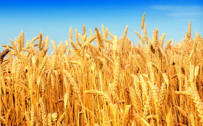 Rouhani Turns Iran Into Wheat Exporter