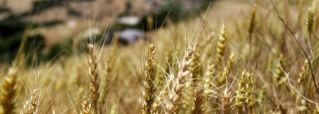 Land Under Wheat Cultivation Near 4.5m Hectares