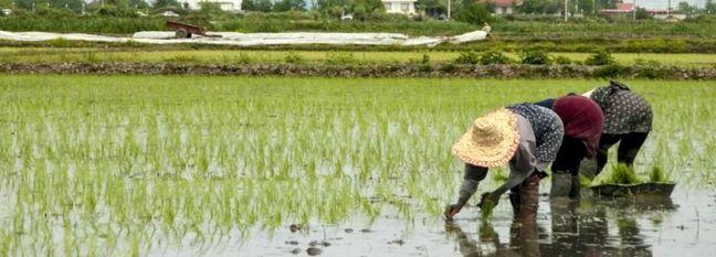 Seasonal Ban on Rice Imports as of Aug. 22