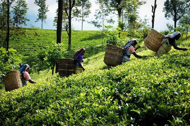 Iran Dismisses Sri Lanka Oil Debt Swap With Tea Proposal