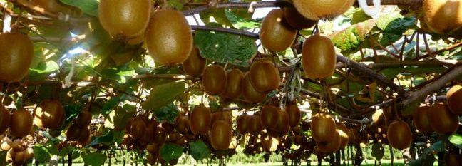 Mazandaran Exports 100K Tons of Kiwis Since March