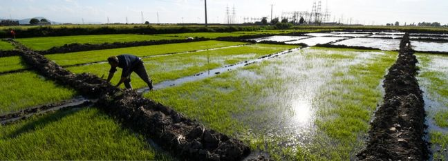 Conditional Rice Cultivation Allowed in Khuzestan Province