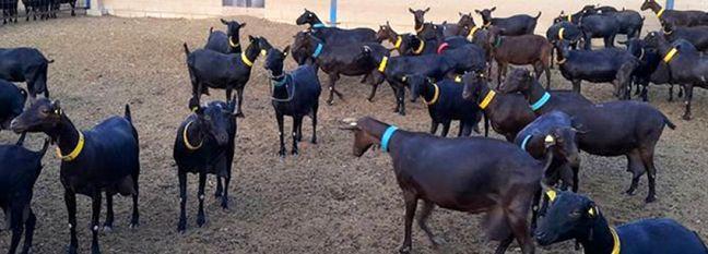 1,200 Spanish Goats Imported to Yazd