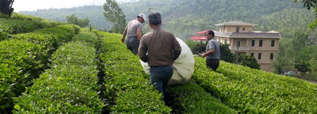 Spring Tea Harvest: Iran Gov't Buys Over 50k Tons of Green Leaves