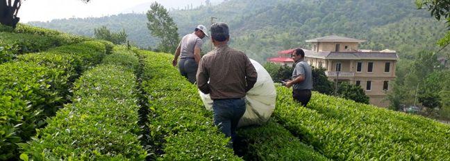 15% Rise in Iran's Tea Production