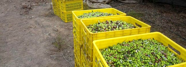 20% Rise in Iran Olive Oil Production Expected This Year